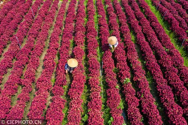 Jiangsu Haian: Flower industry helps farmers increase income
