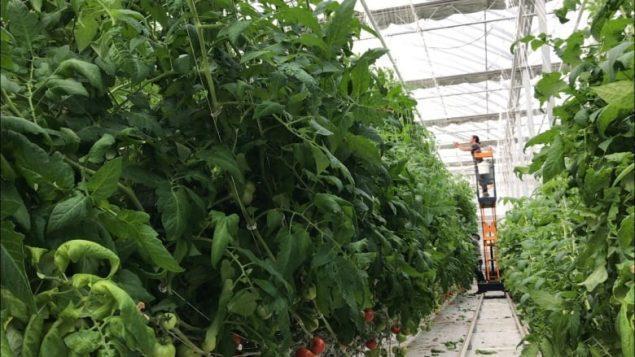 加拿大北部地区挑战自然条件搞温室农业