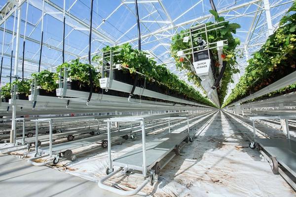 荷兰浆果公司在巨型草莓温室新建区域测试喷雾装置1