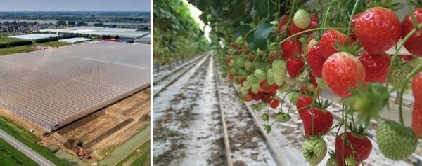 荷兰浆果公司在巨型草莓温室新建区域测试喷雾装置2