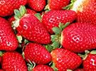 以色列草莓呈现新口味